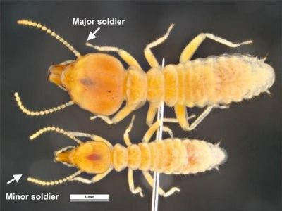 Schedorhinotermes spp. australian termite ipswich area qld 4305