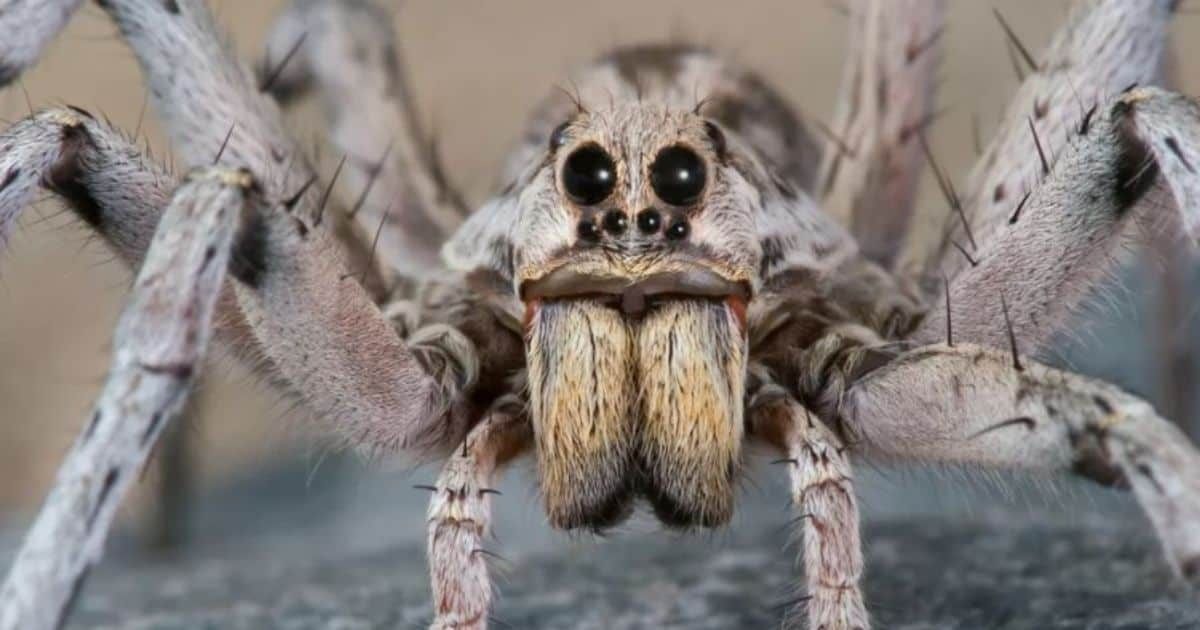 Wolf Spiders in Australia